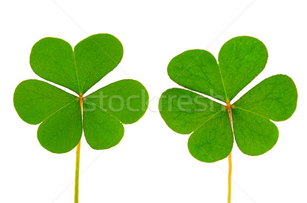 Three Leaf Clover Stock photo © szefei