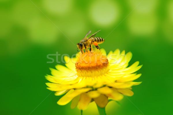 Stock foto: Biene · Gänseblümchen · Blume · Arbeit · Hintergrund