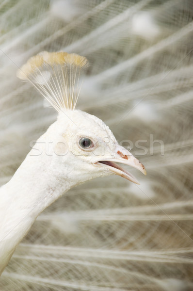 White peacock Stock photo © szefei