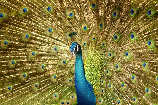Сток-фото: павлин · портрет · из · природы · птица
