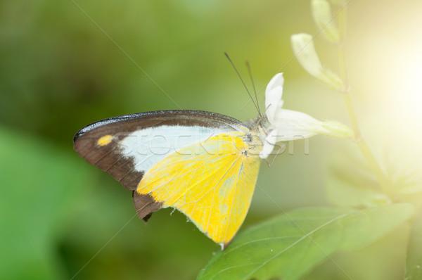 Yellow butterfly macro shot Stock photo © szefei
