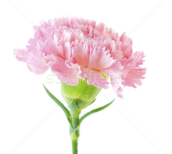Pink carnation flower Stock photo © szefei