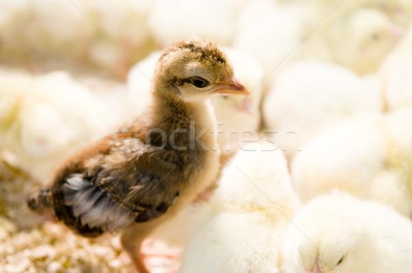 Outstanding chick  Stock photo © szefei