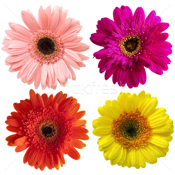 Gerbera Stock photo © szefei