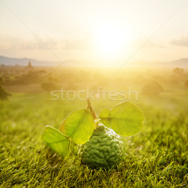 Organic kaffir lime on green lawn with sunrise Stock photo © szefei