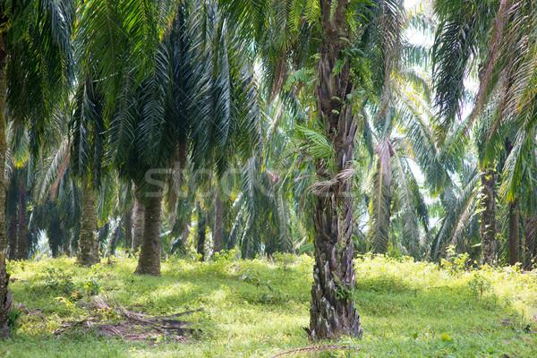 Palm oil plantation at Asia. Stock photo © szefei