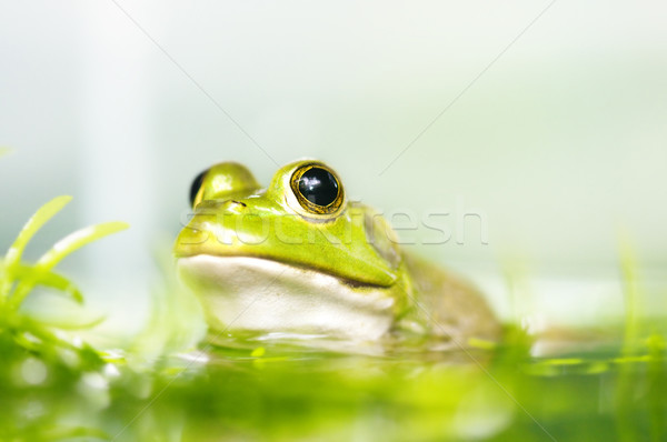 Frog Stock photo © szefei
