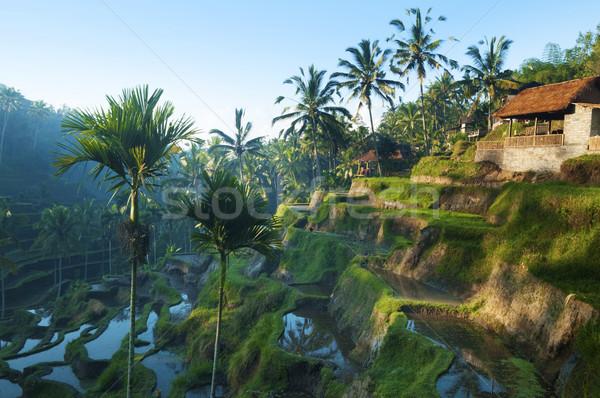 Terrace rice fields. Stock photo © szefei