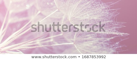 water drops on dandelion seeds stock photo © ansonstock