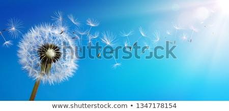 dandelion seeds flying away stock photo © ansonstock