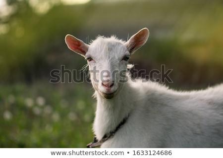 小さな · ヤギ · 自然 · 夏 · 日 · 動物 - ストックフォト © bobkeenan