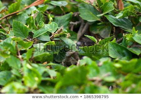 Lizard between branches. Stock photo © angelsimon