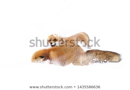 fox winter fur close up 2 isolated stock photo © zakaz