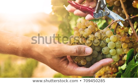 Couple hand picking grapes Stock photo © photography33