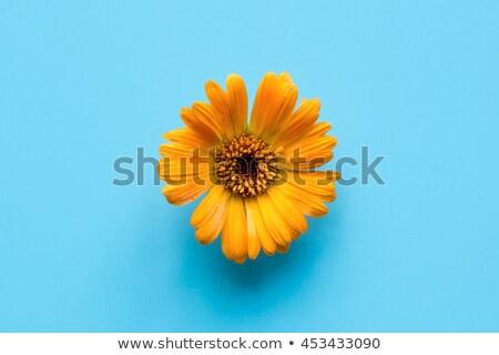 een · oranje · bloem · geïsoleerd · witte - stockfoto © boroda