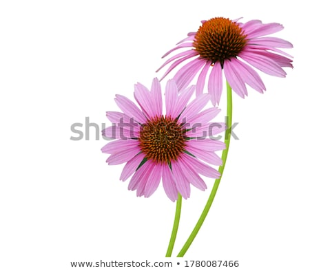 Echinacea flower Stock photo © Kotenko