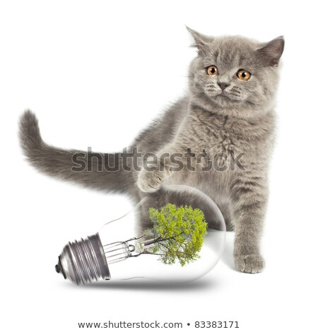 británico · gatito · medio · ambiente · bombilla · aislado · blanco - foto stock © vlad_star