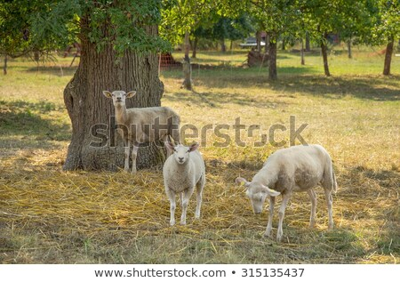 grazing sheep in sunny ambiance Stock photo © prill