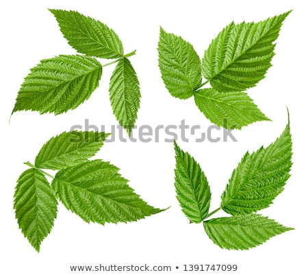 sweet raspberry with leafs stock photo © masha