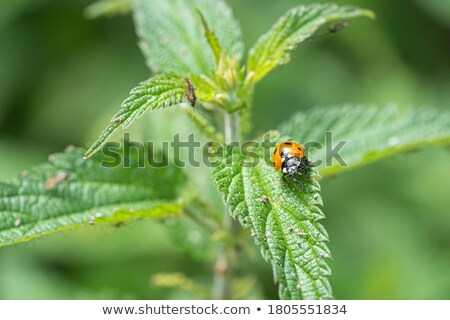 ladybird on nettle Stock photo © ivonnewierink
