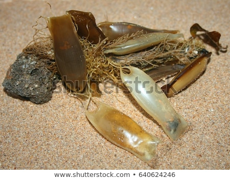 Seaweed and mermaids purse Stock photo © david010167