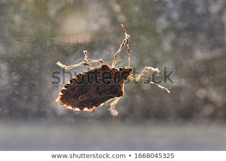 Bug vue de côté bouclier insecte macro ponderosa Photo stock © brm1949