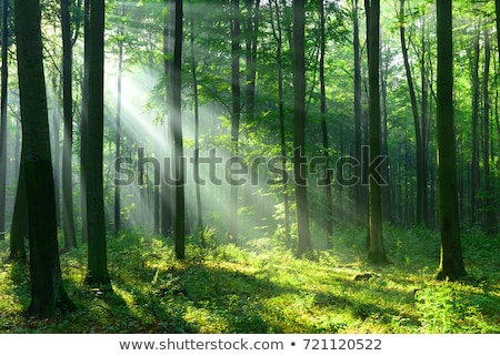 Sunbeams in the forest Stock photo © Givaga