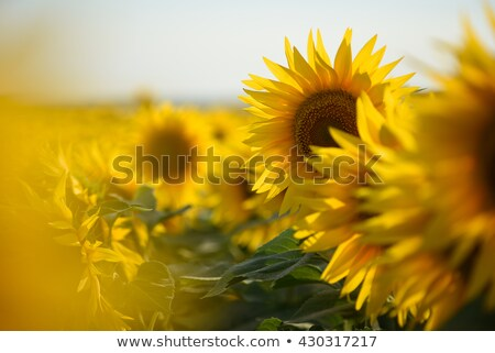 Sunflowers in focus and blur Stock photo © c-foto