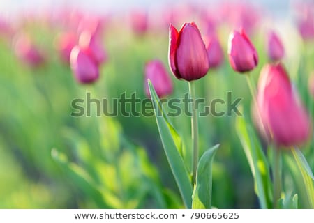 Stock photo: Spring field with blooming colorful tulips