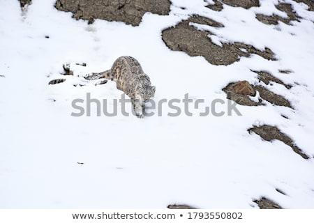 Leopard Walking Stock photo © Donvanstaden