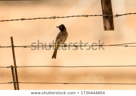 African Red-eyed Bulbul (Pycnonotus nigricans) Stock photo © dirkr