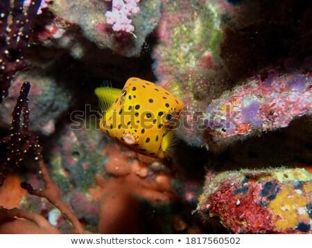 Face On Spotted Boxfish Stock photo © silkenphotography