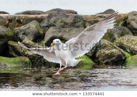 Stock photo: Seagull landing on rock