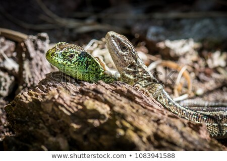 lagarto · areia · foto · natureza - foto stock © Dermot68