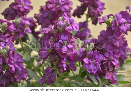 Foto stock: Matthiola Flowers