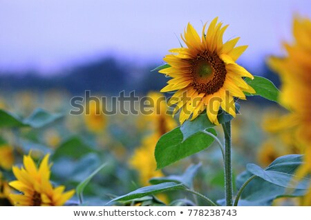 field of blooming sunflowers on a sunset light stock photo © relu1907