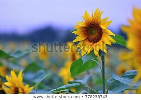 Domaine floraison tournesols coucher du soleil lumière alimentaire Photo stock © Relu1907