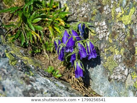 Wild bluebell flowers grown in a green meadow Stock photo © stryjek