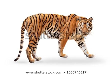 Stock fotó: Tigris · bambusz · fű · állat · néz · gyönyörű