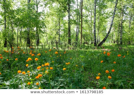 Sibéria floresta pôr do sol flores madeira sol Foto stock © Mikko