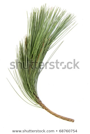 green branches of the pine,embellishment cristmas Stock photo © fanfo