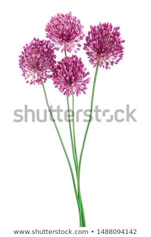 Póréhagyma virág ehető növény izolált fehér Stock fotó © Klinker