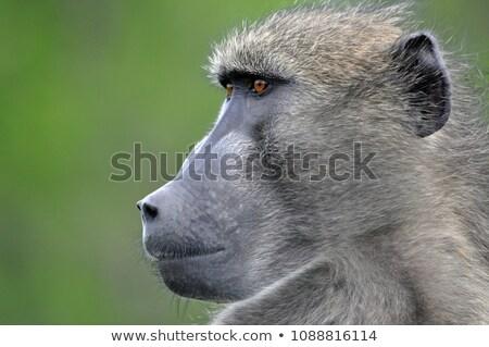 Pávián park Dél-Afrika állatok majom fotózás Stock fotó © simoneeman