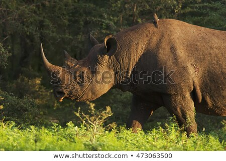 Eating Black rhino in the Kruger. Stock photo © simoneeman