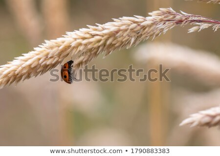 Lady beetle on the wheat stem Stock photo © Anna_Om