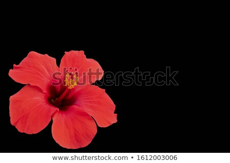 card with hibiscus flower and black copy space stock photo © tuulijumala