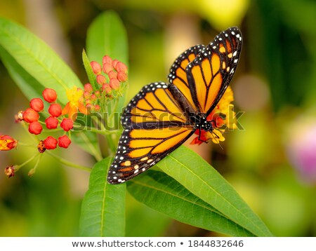 Danaus plexippus Stock photo © bluering