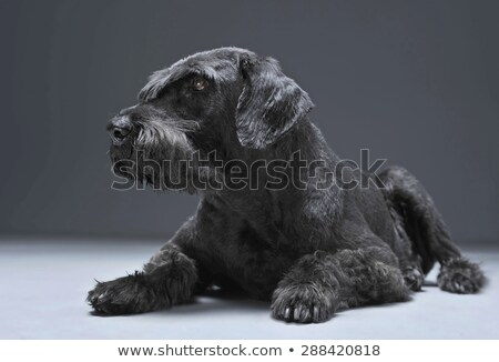 Giant schnauzer relaxing in a studio floor Stock photo © vauvau