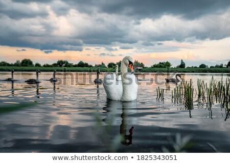 goose with chicks at sunset Stock photo © adrenalina