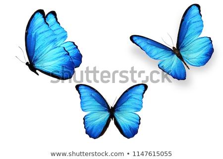 Set blue butterflies morpho Stock photo © blackmoon979